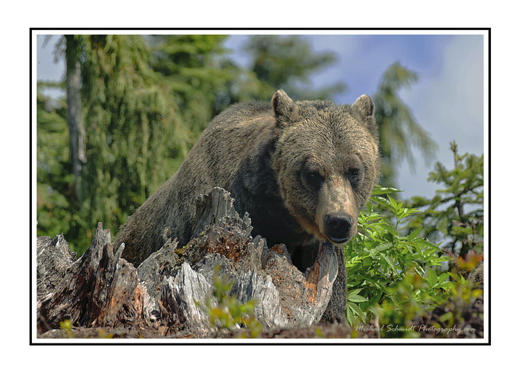 the grizzly WB_resize.jpg
