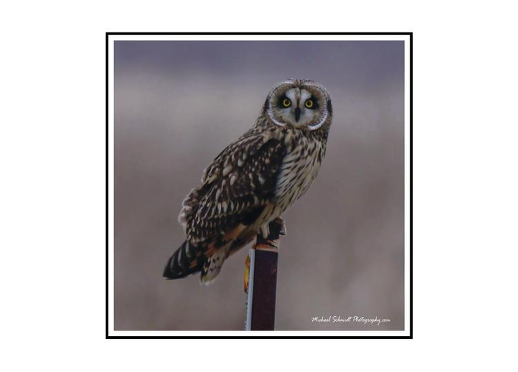2014-01-18 Delta Boundary Bay Short Eared Owl-8
