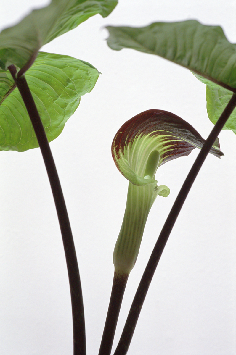 ARISAEMA TRIPHYLLUM, Color Photograph on Archival Paper, 18 x 12""