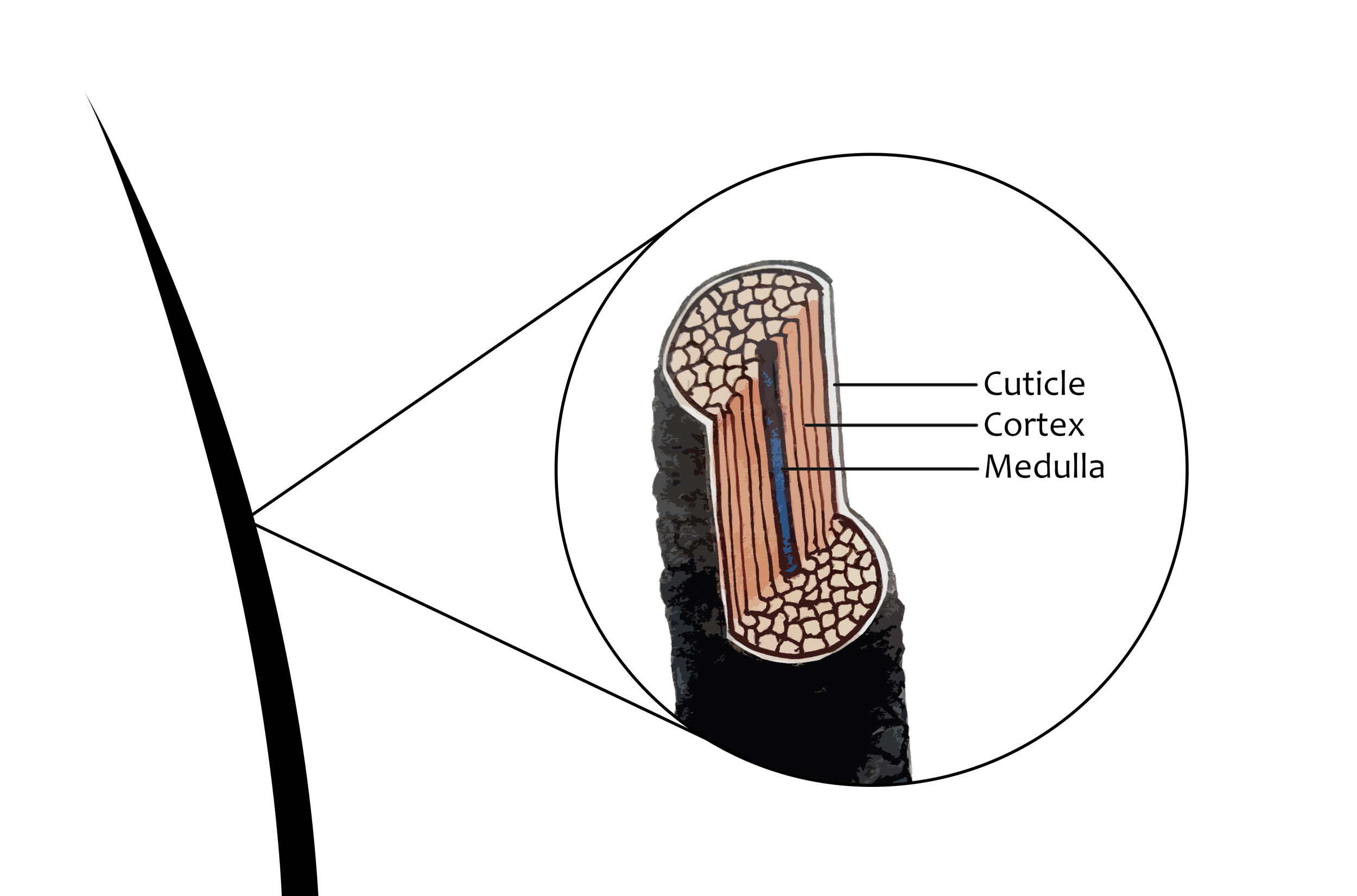 Figure: The structure of our hair