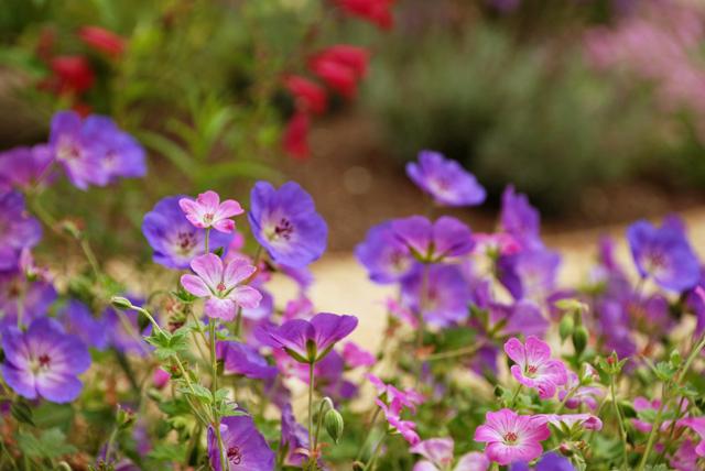 Geraniums-in-Leatherhead-ga.jpg