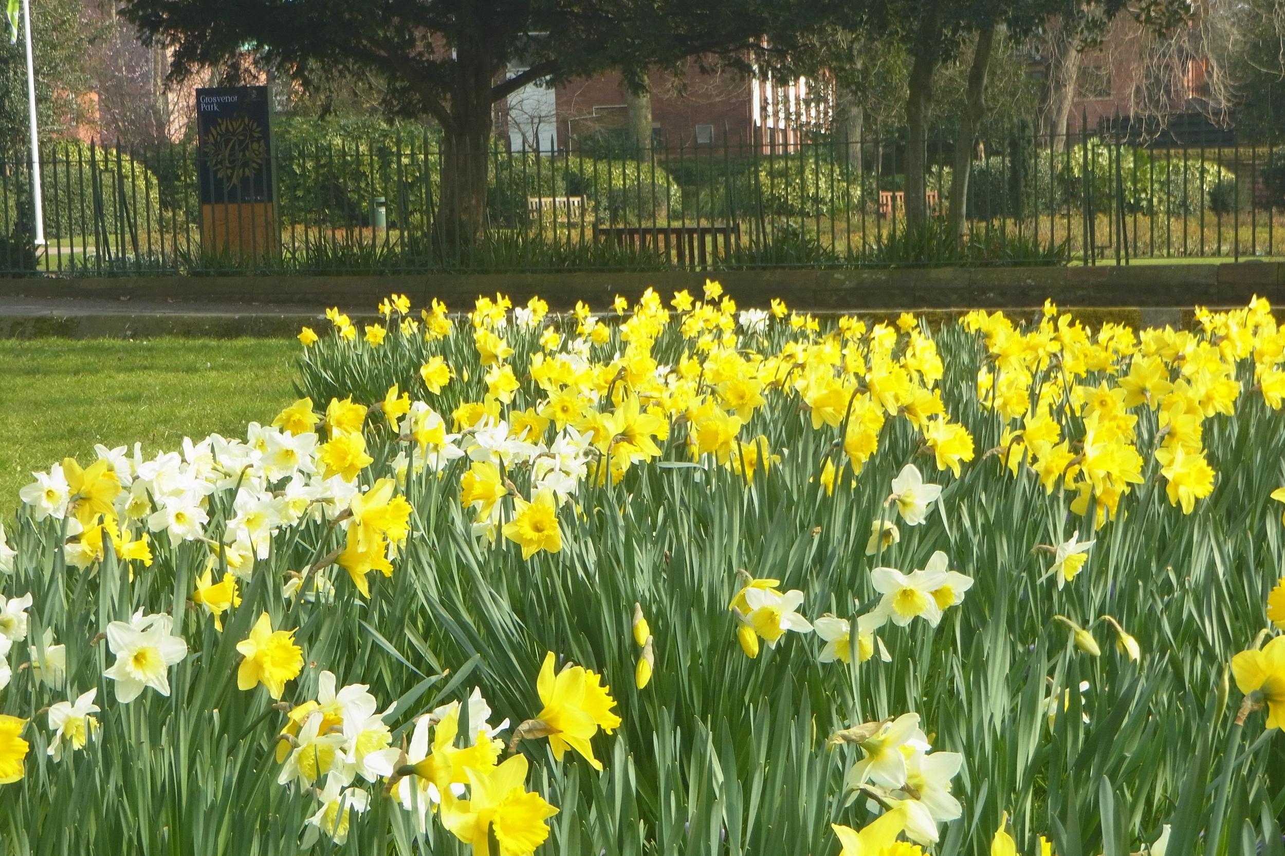 Daffodils next to Grosvenor Park...