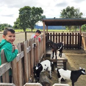 old-faithful-goats.jpg