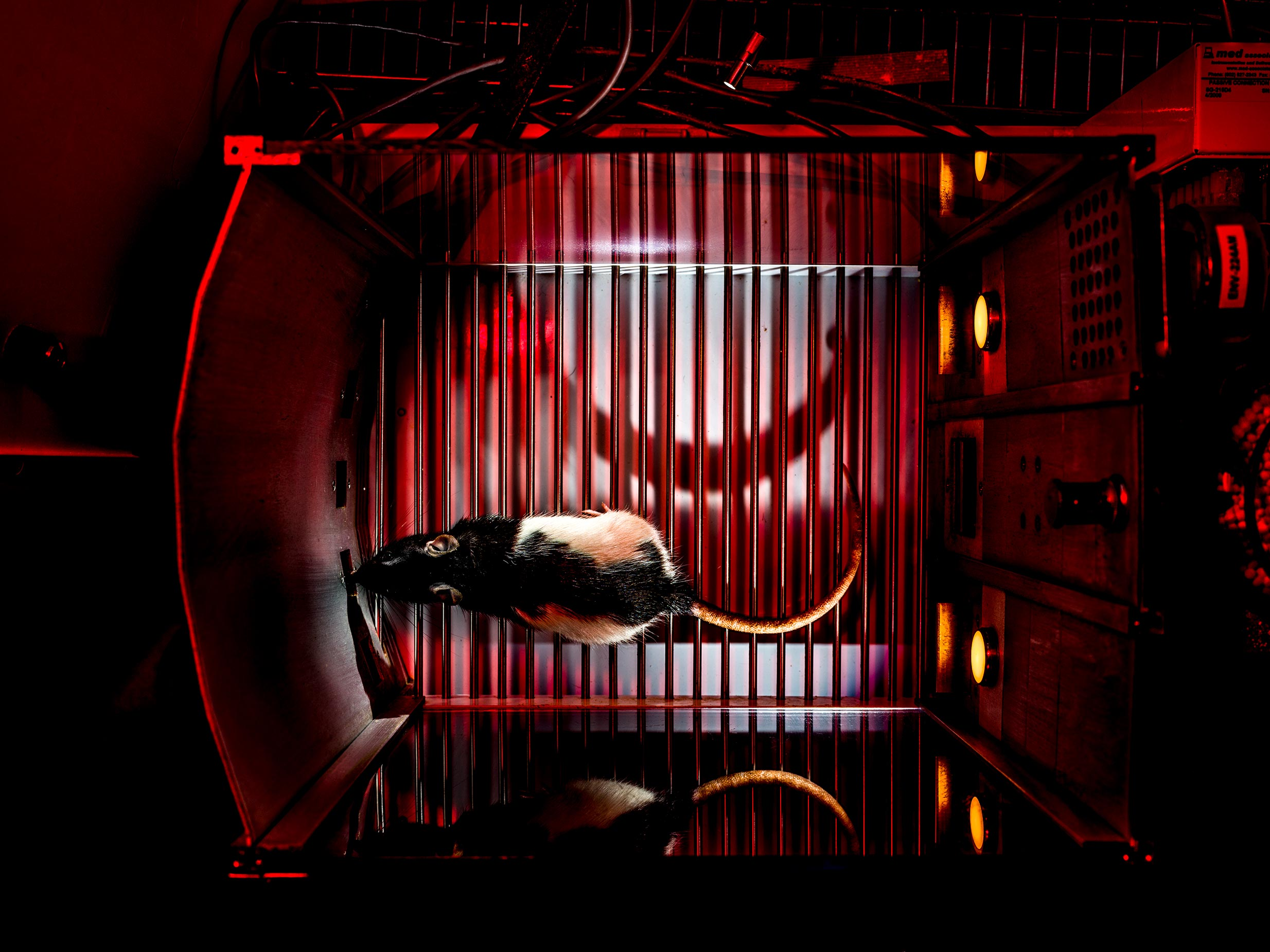 Rat Casino, rewards and triggers, flashing lights and sounds to mimic a human casino built by this lab to study behavior and find targets in the brain that may one day treat humans with the disease. Catharine Winstanley Lab, University of British Columbia, Vancouver