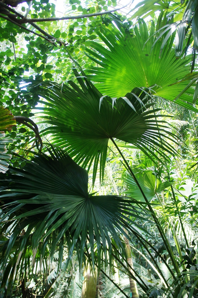 Tropical leaves with sun filtering through in Poznan Palm House