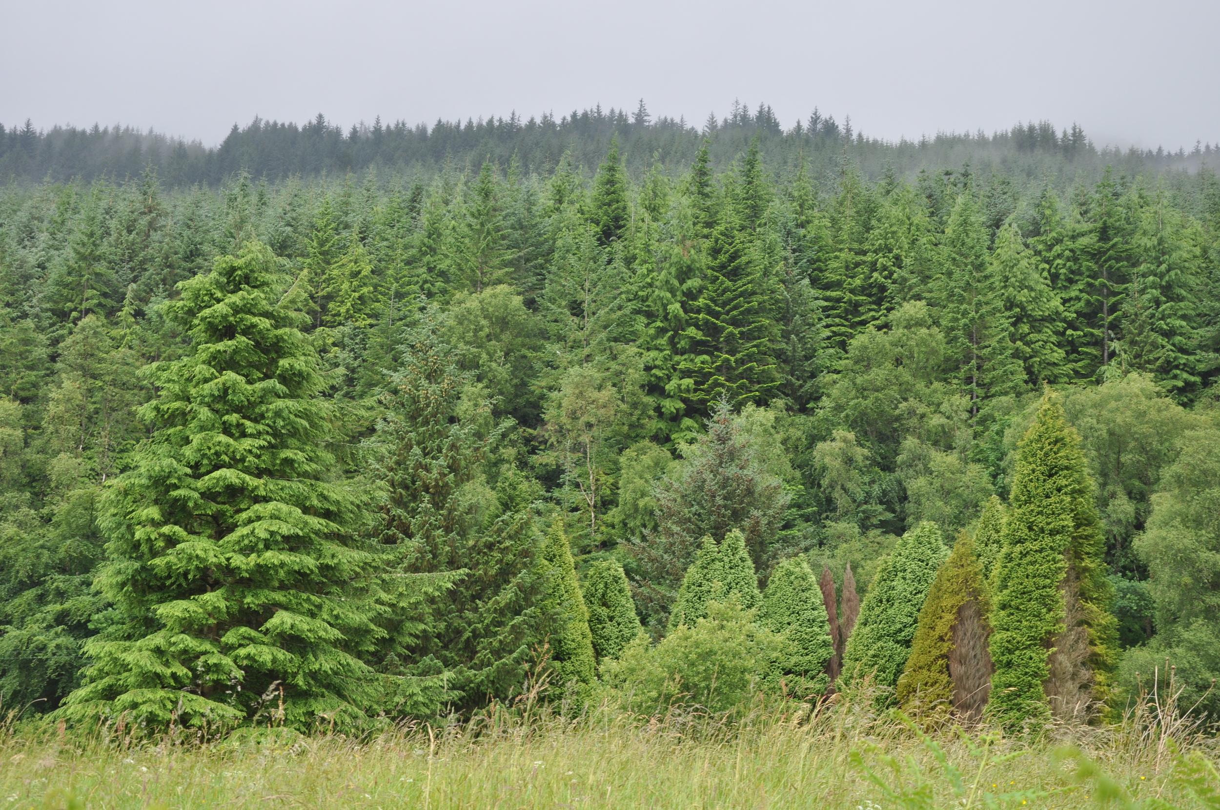 conifer trees in Scotland