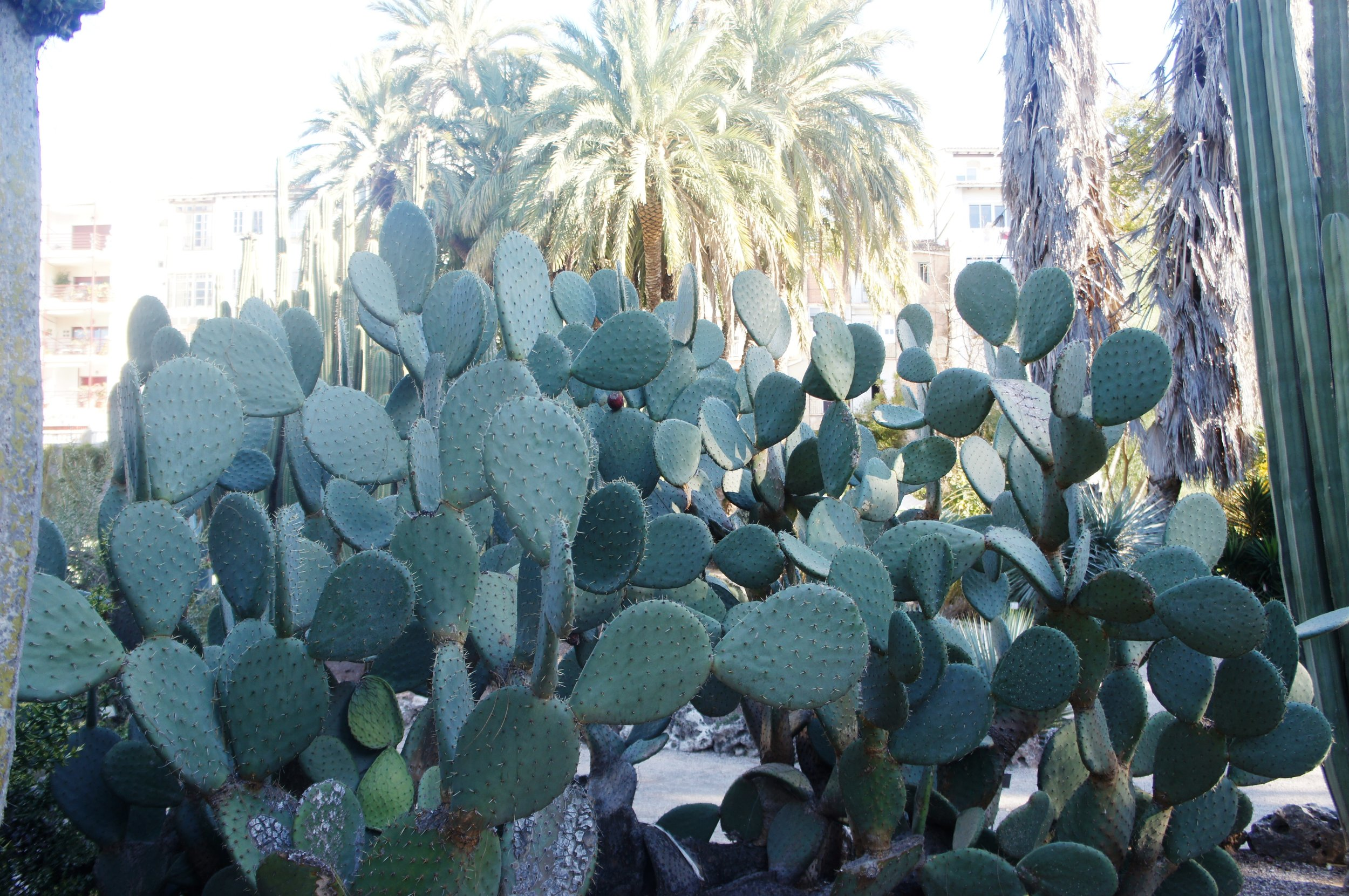 Prickly Pear Plant in Valencia botanic gardens