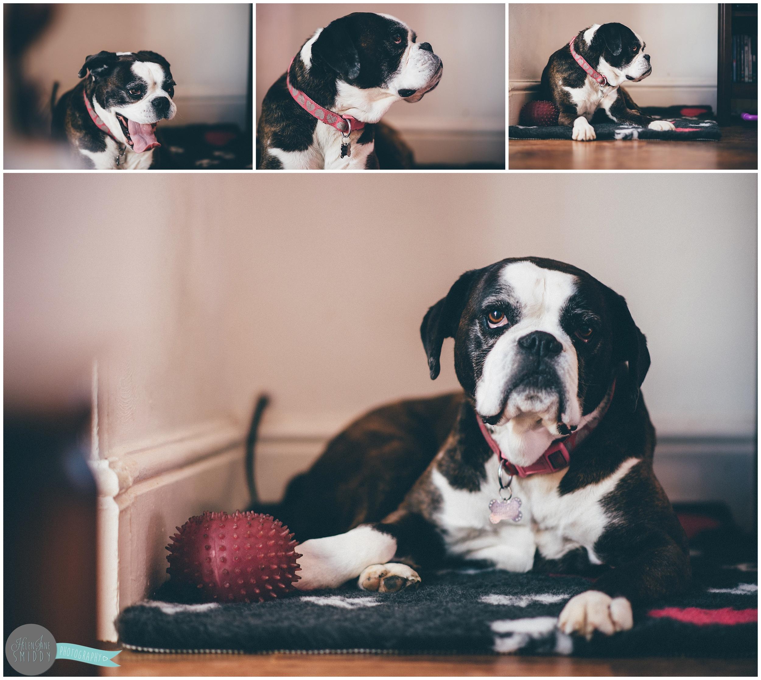Newborn-family-photoshoot-delamere-cheshire-chester-lifestyle-photography-boxer-dog-pet-photography