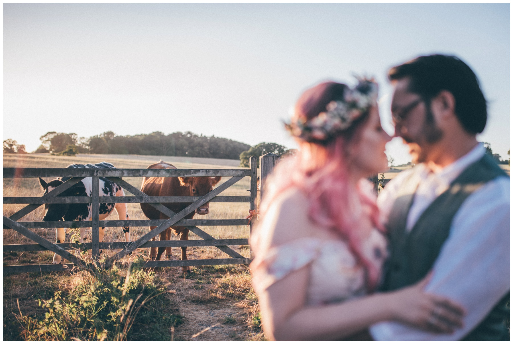 Cows look on hilariously at the bride and groom having a cuddle in Staffordshire wedding.