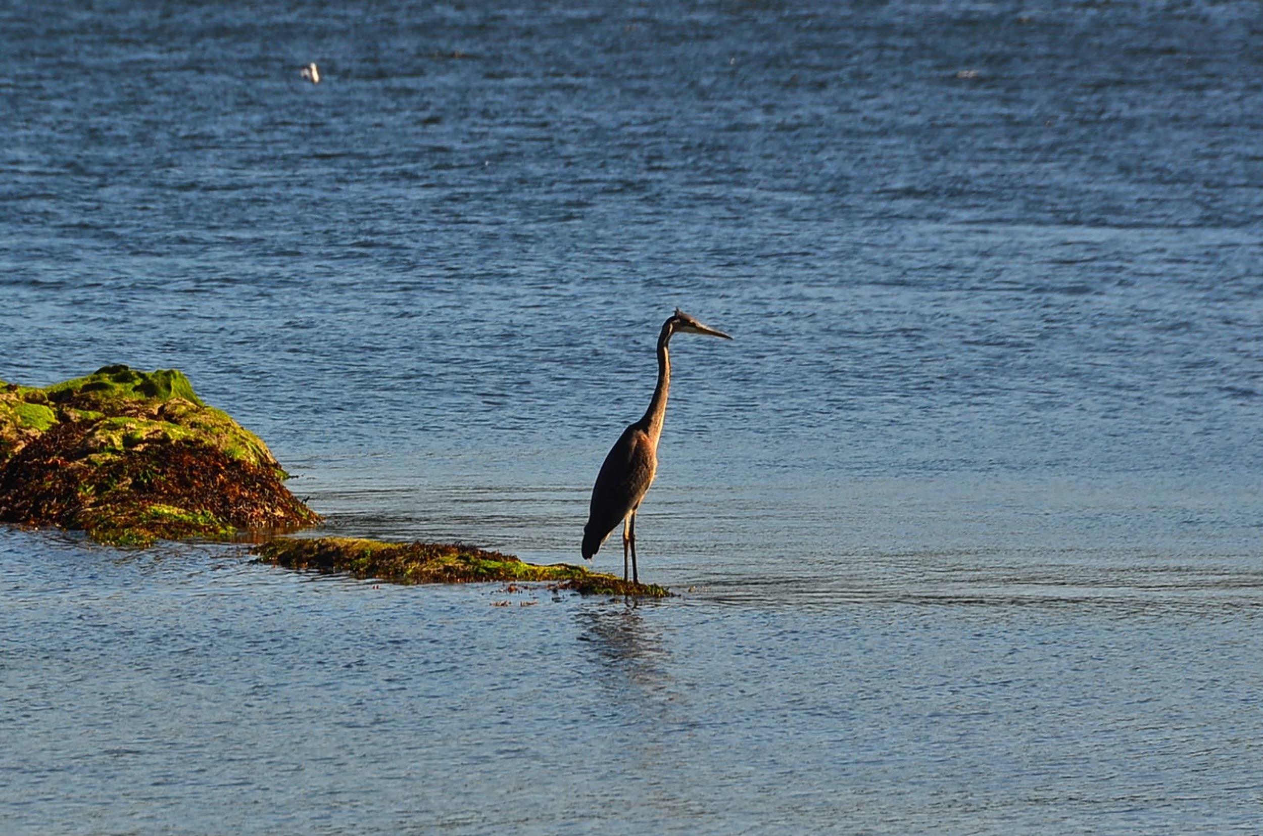cedar-beach-heron.jpg