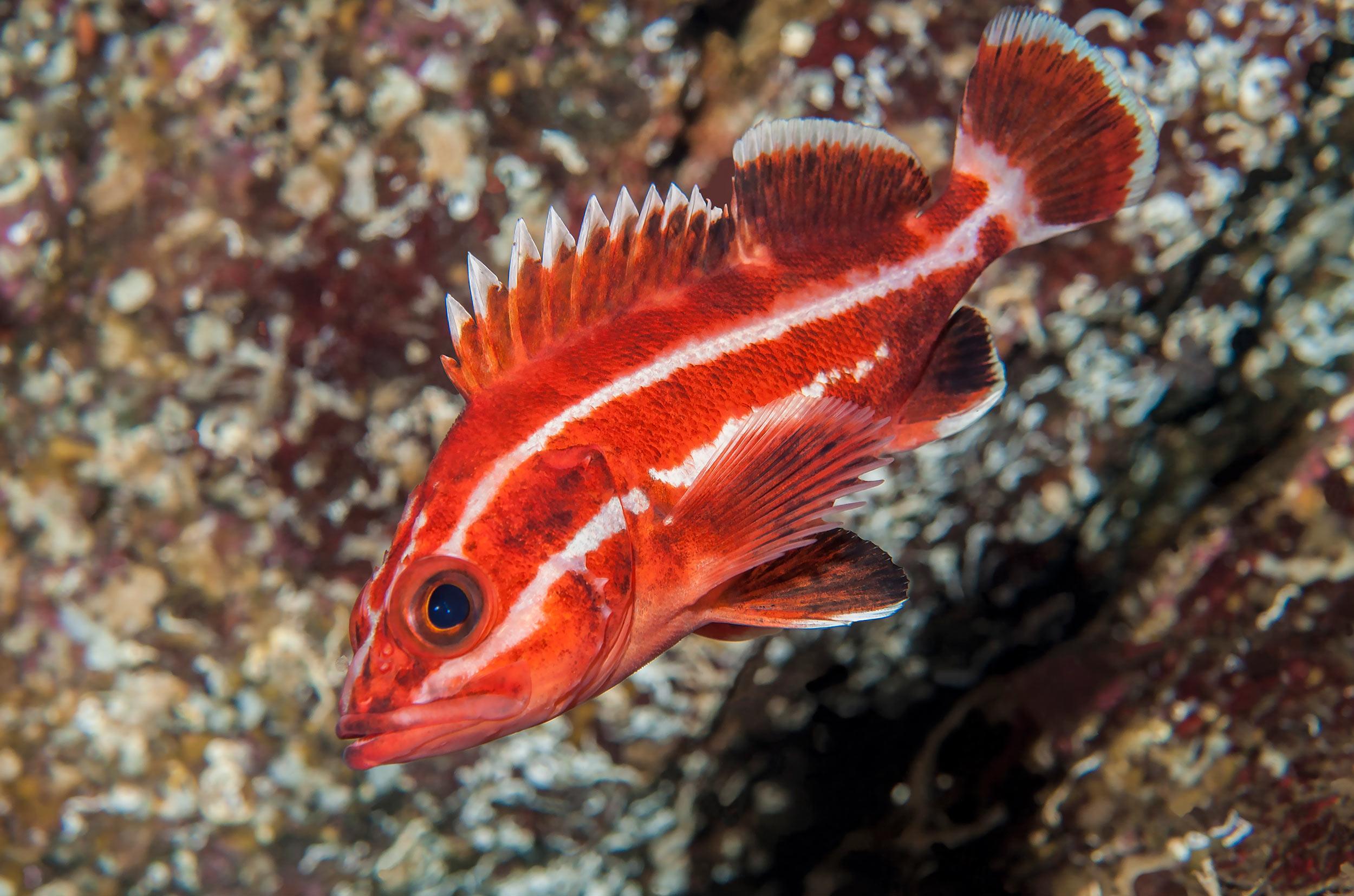 cedar-beach-juvenile-yelloweye-rockfish-sebastes-ruberrimus.jpg