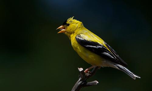 cedar-beach-lou-goldfinch.jpg