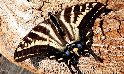 cedar-beach-neil-swallowtail-butterfly.jpg