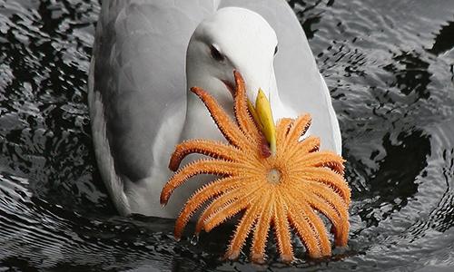 cedar-beach-anissa-reed-gull-sea-star-2.jpg