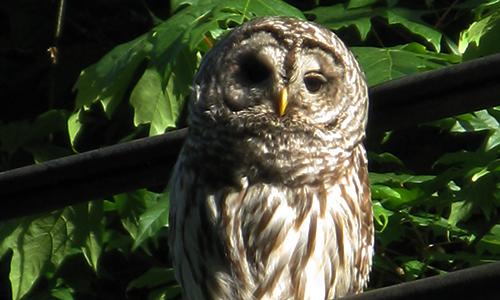 cedar-beach-linda-bared-owl.jpg