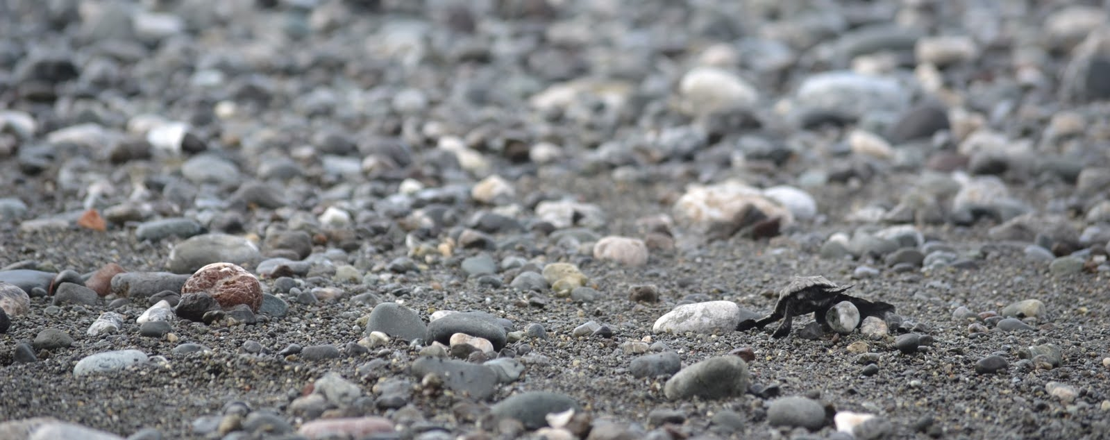 There is a newborn turtle in this photo! And it is a long journey to the surf. Photo: Owen Liu, 2011