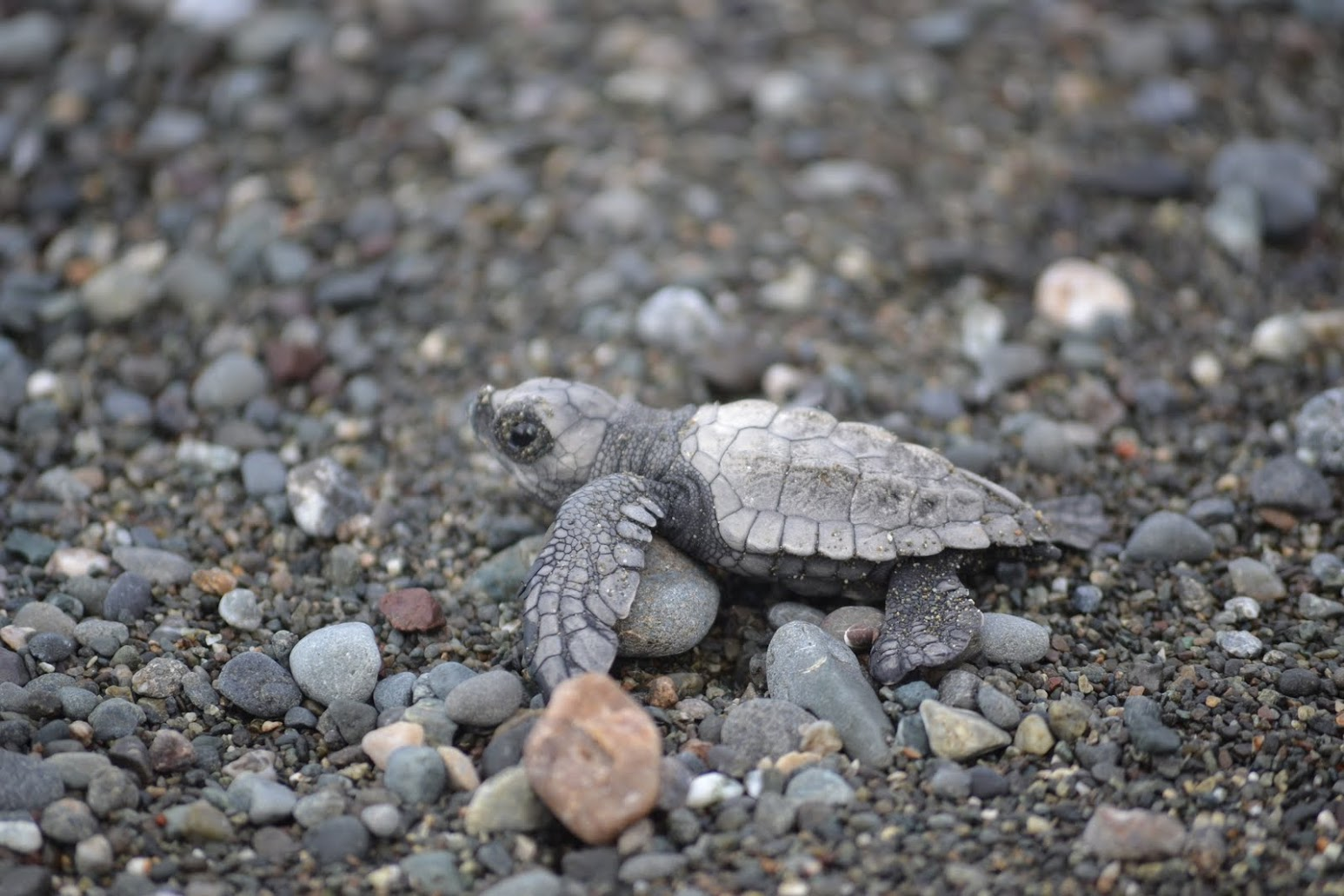 A newly hatched olive ridley turtle works it way towards the ocean.  Osa Peninsula, Costa Rica, 2011. Photo: Owen Liu