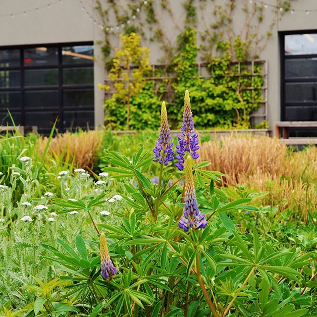 Purple, pattern, party - happening RN now in the meadow on the greenroof of @vice HQ. Headlining: Allium, Ajuga, Lupinus Perennis & the elusive Iris Sibirica. Sometimes it's all about color, and sometimes it's all about texture and sometimes it's both. Swipe to see what we mean. #BGbuilds #springblooms #greenroof #meadow