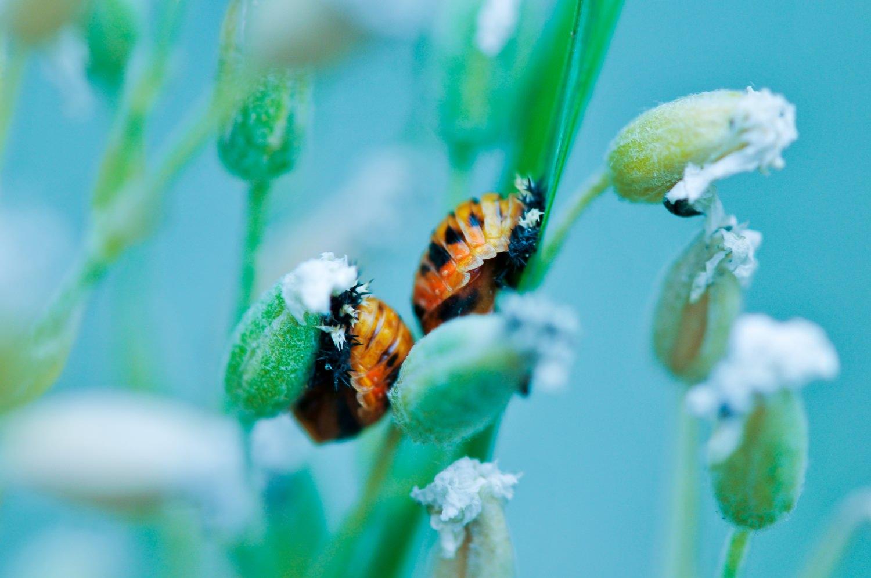 Becoming+ladybugs-20768562850.jpg