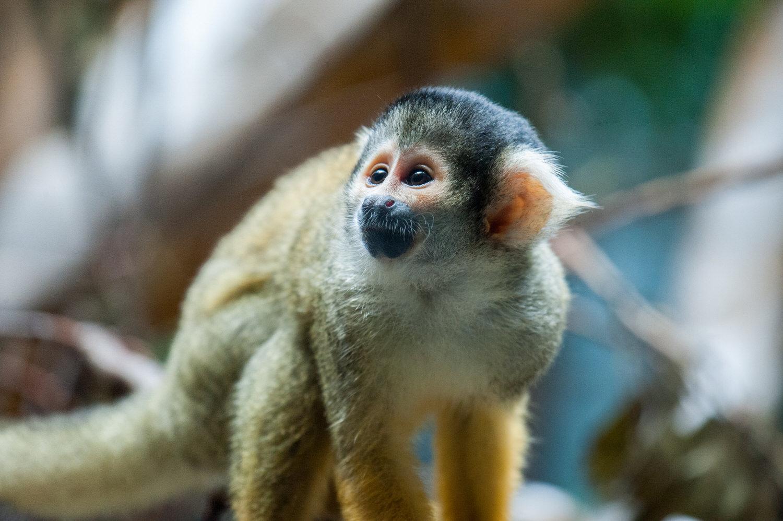 Squirrel+Monkey-22052329731.jpg