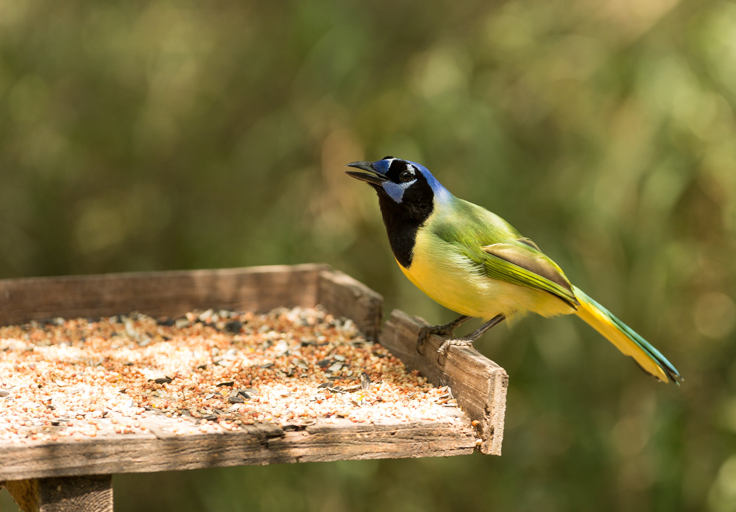 South Padre - South Padre Island | World Birding Centers | Port Isabel