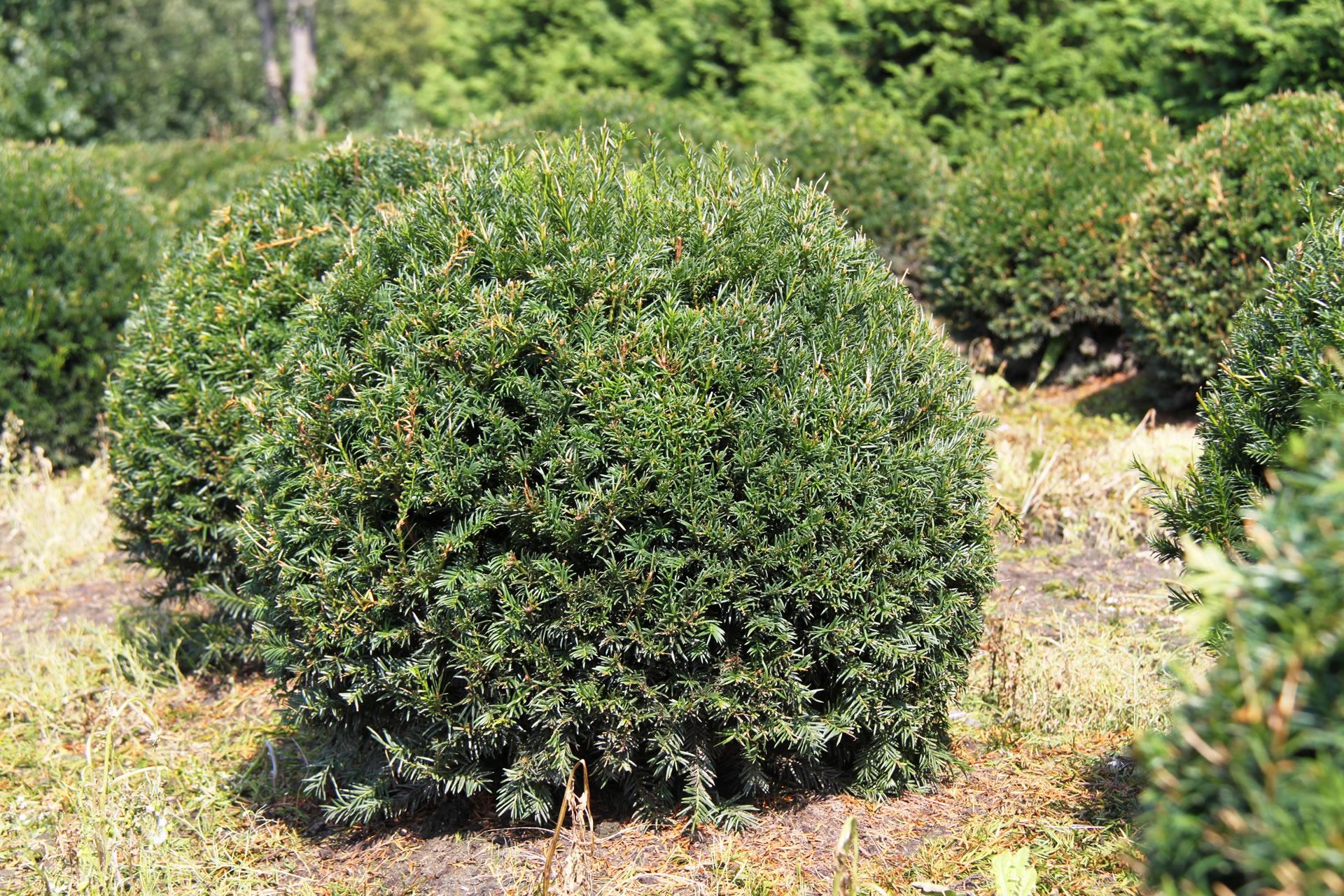 50cm Yew Balls