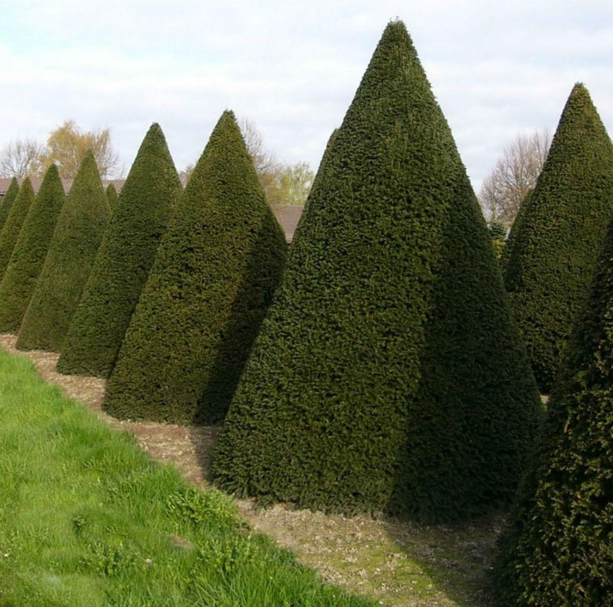 Yew large cones