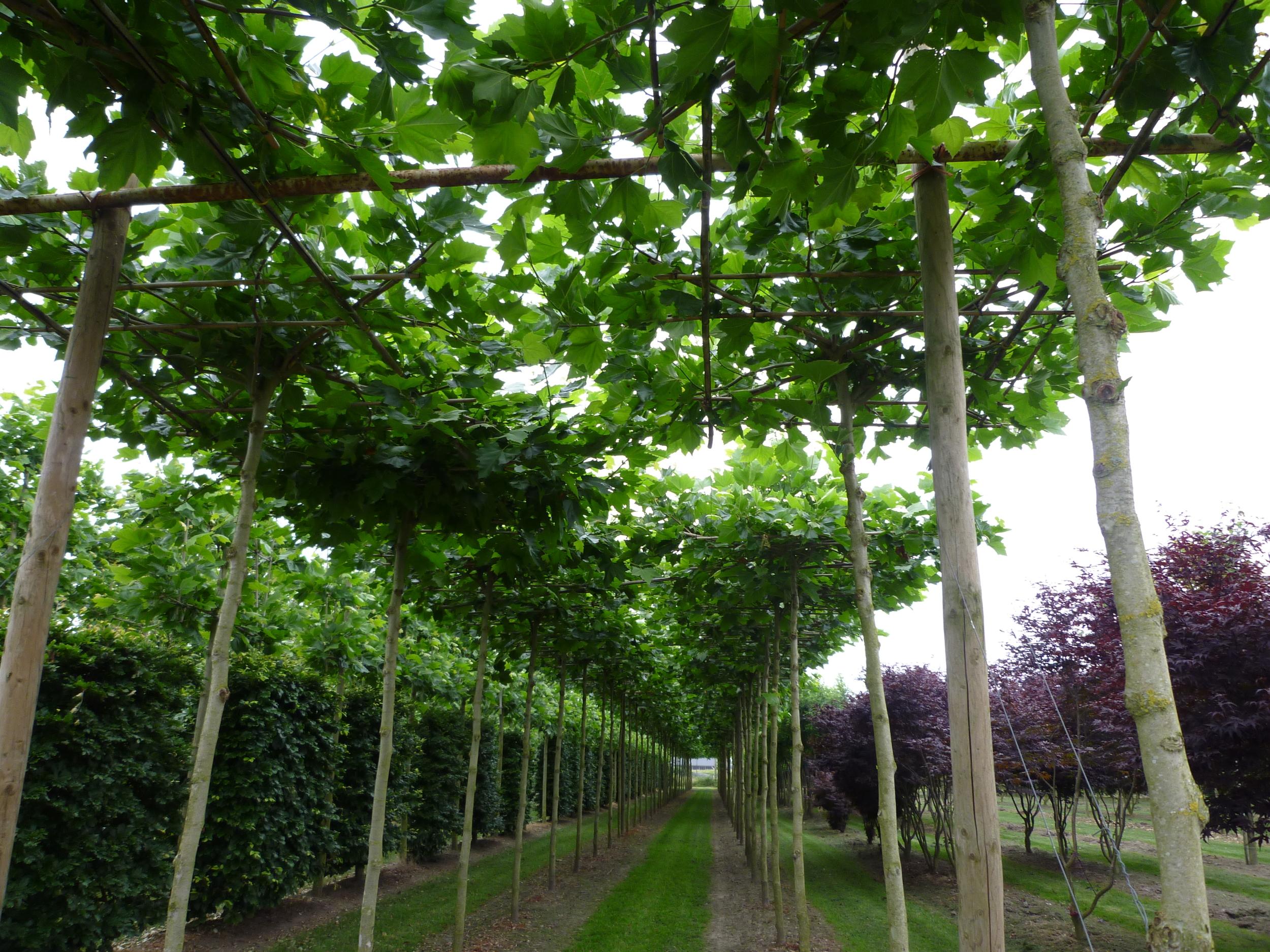 Lime parasol trees