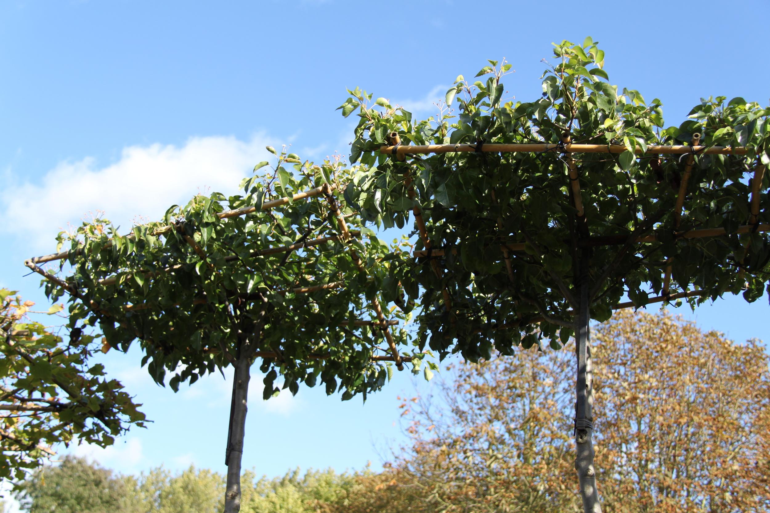 Parasol trees