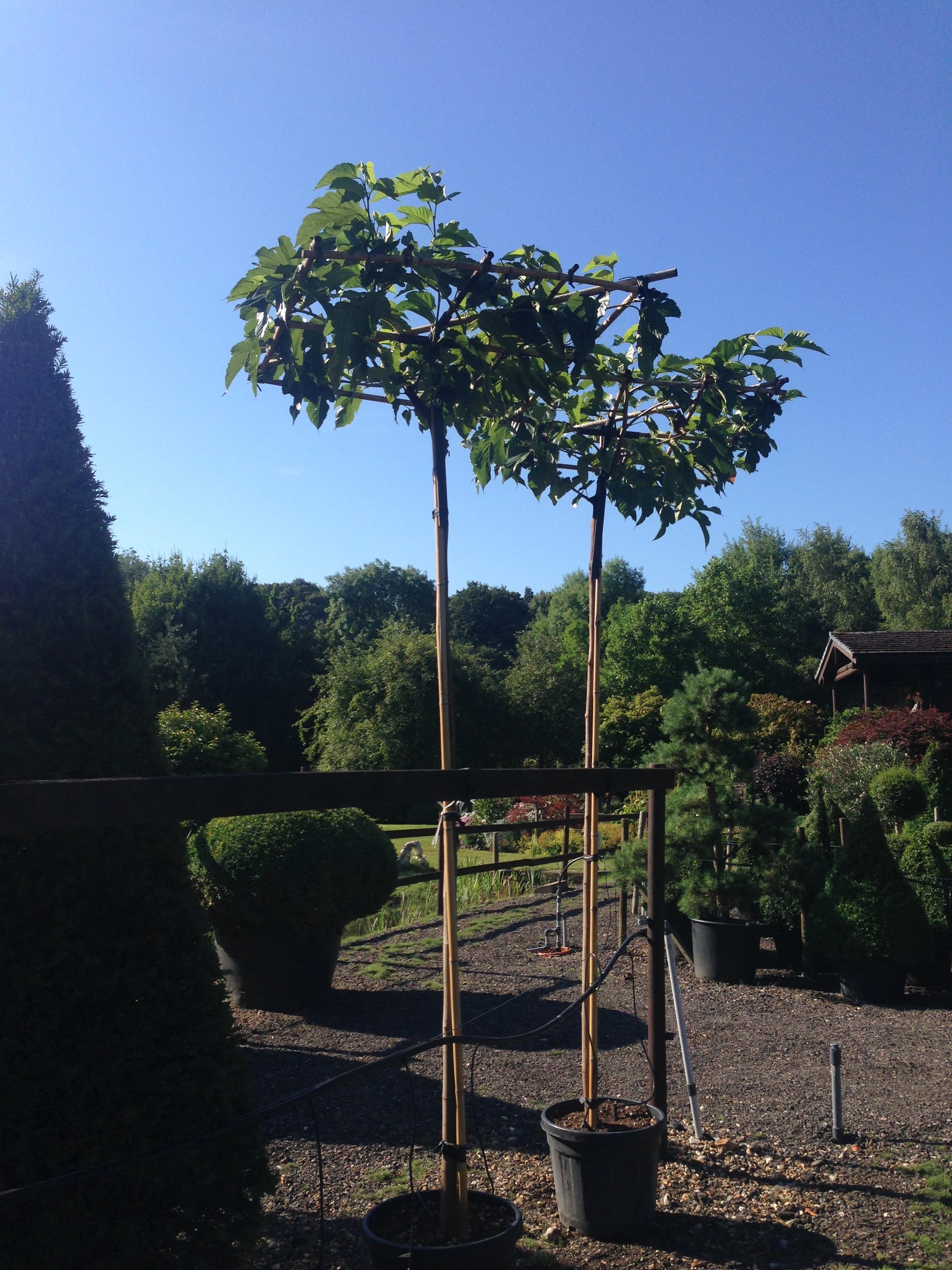 Morus alba parasol trees