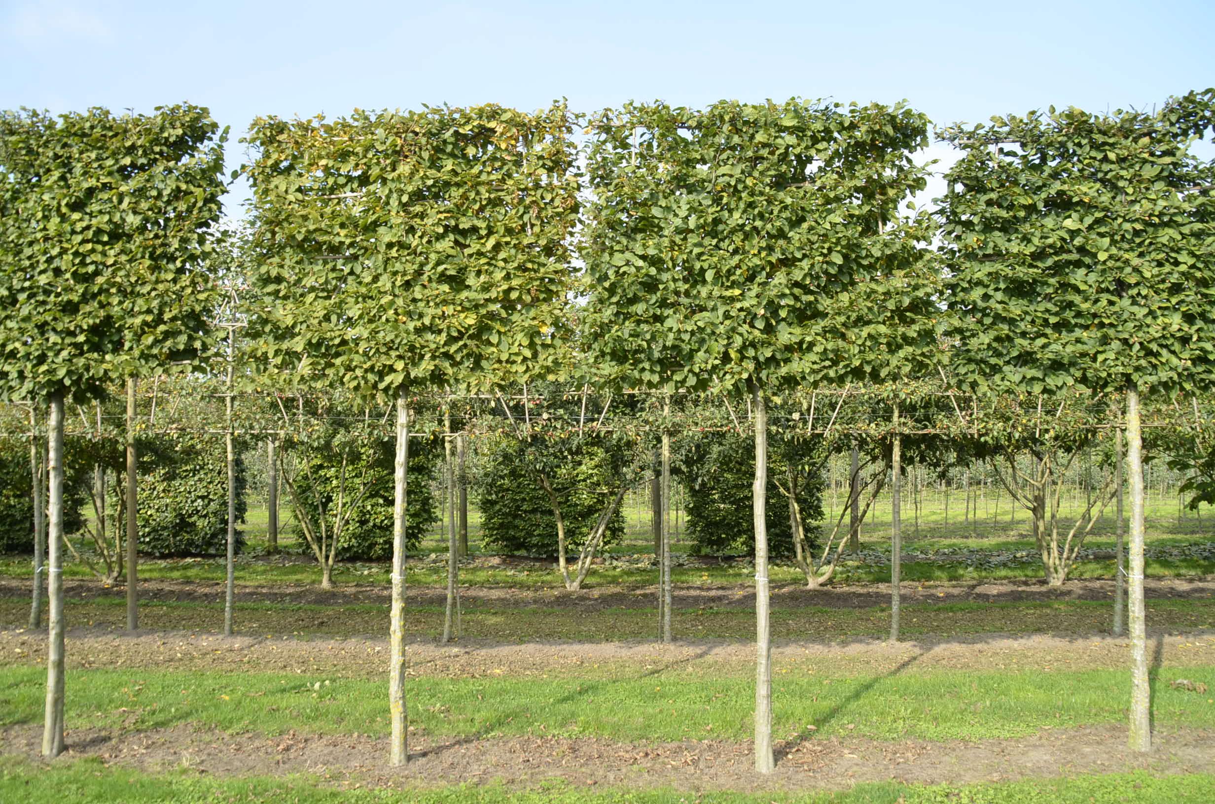 Hornbeam pleached trees