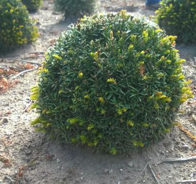 Yew ball