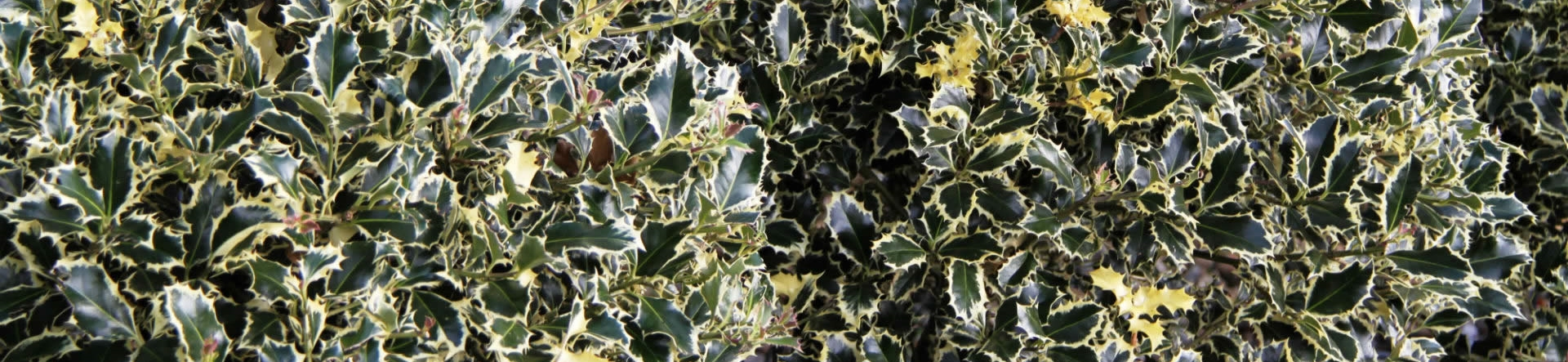 Crown Topiary care guide for Holly