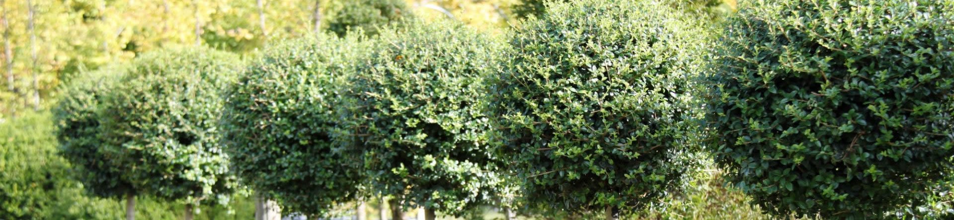Crown Topiary care guide for Privet