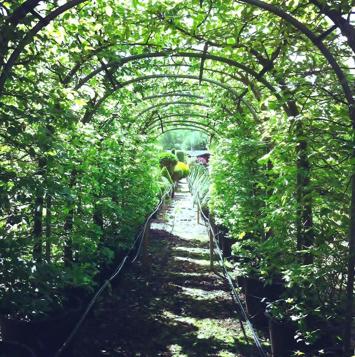 Hornbeam Arch