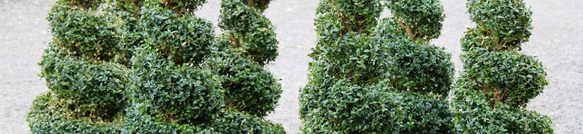 Buxus sempervirens spirals
