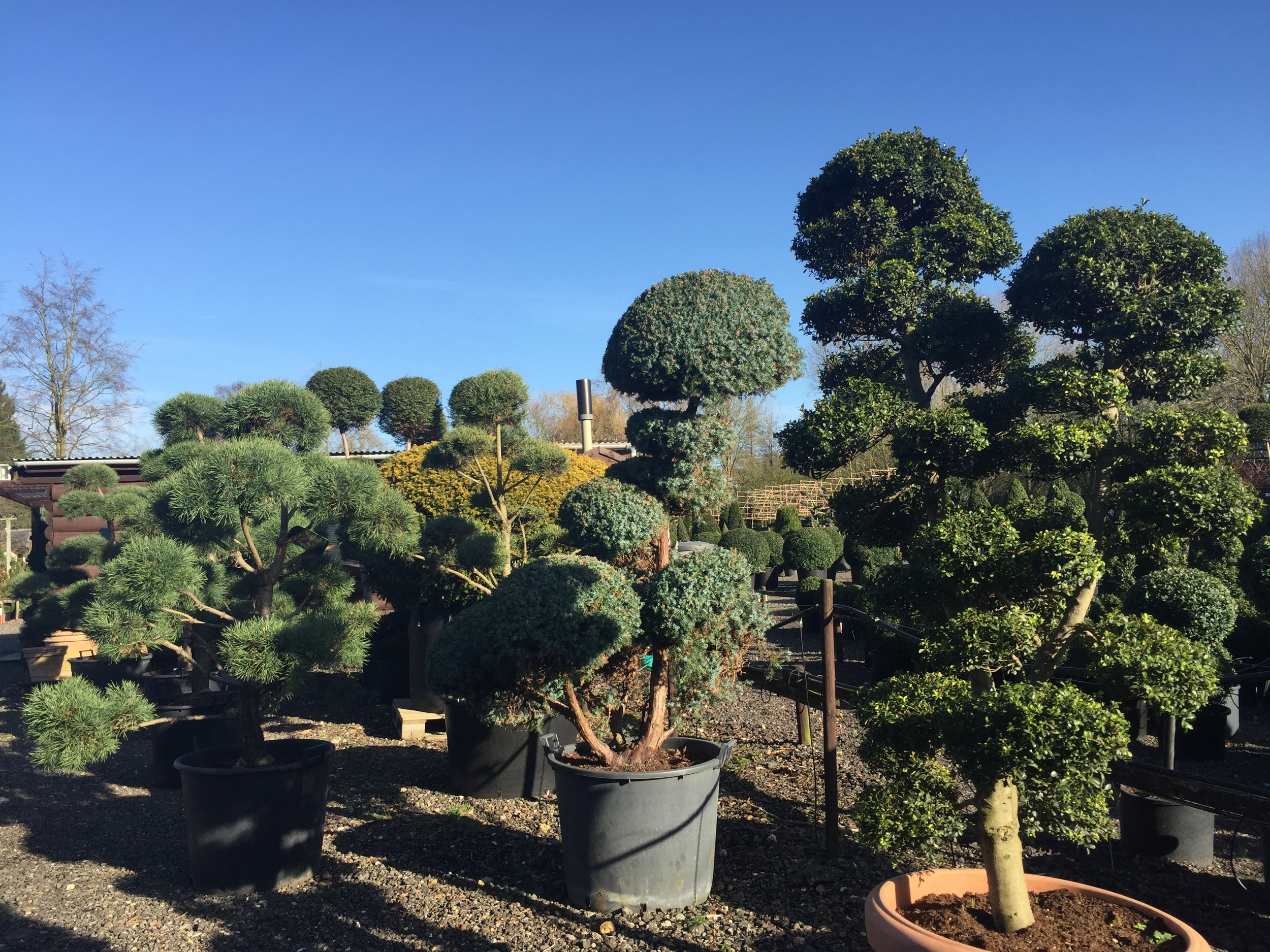 Juniper cloud, Japanese holly cloud and Pine cloud trees