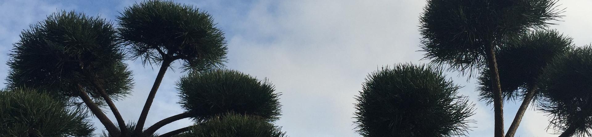 Pinus sylvestris clouds