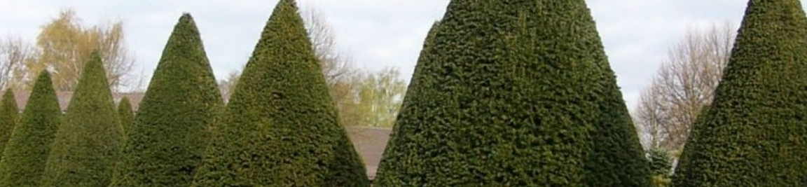 Crown Topiary care guide for English Yew