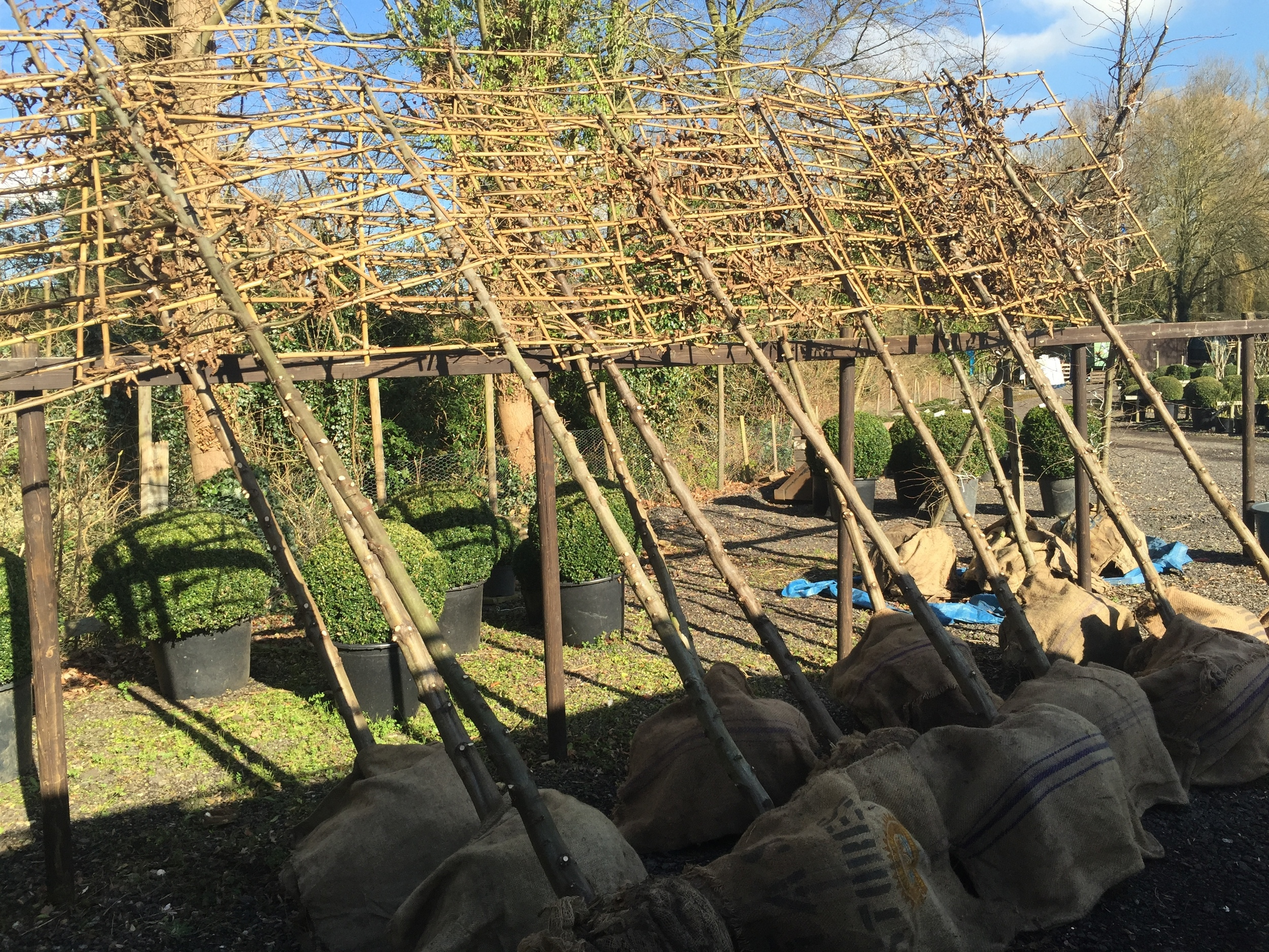 The finished pleached trees ready to deliver!