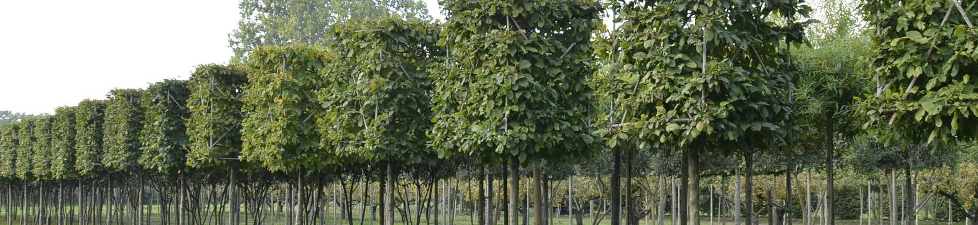 Harnbeam Box Head Trees