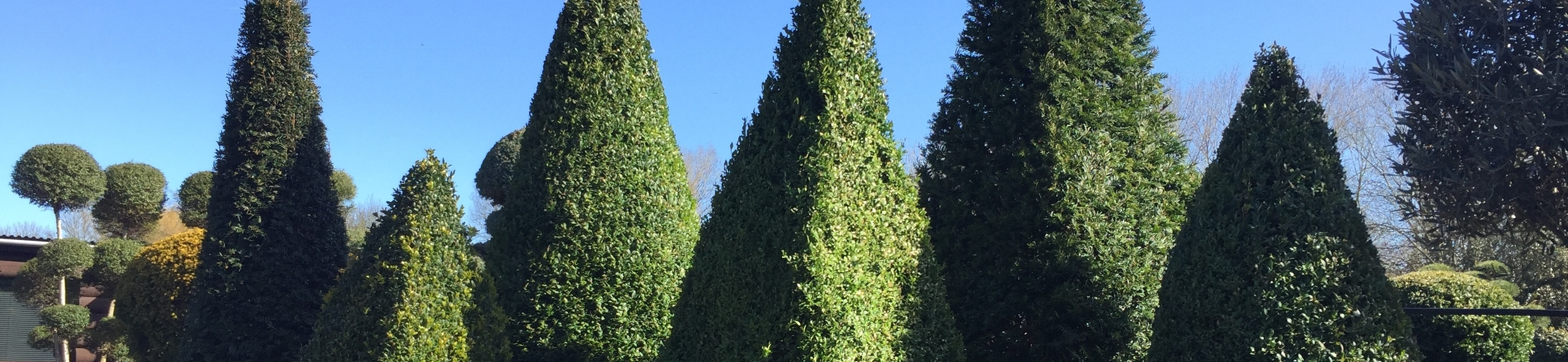 Yew and Box Cones and Pyramids