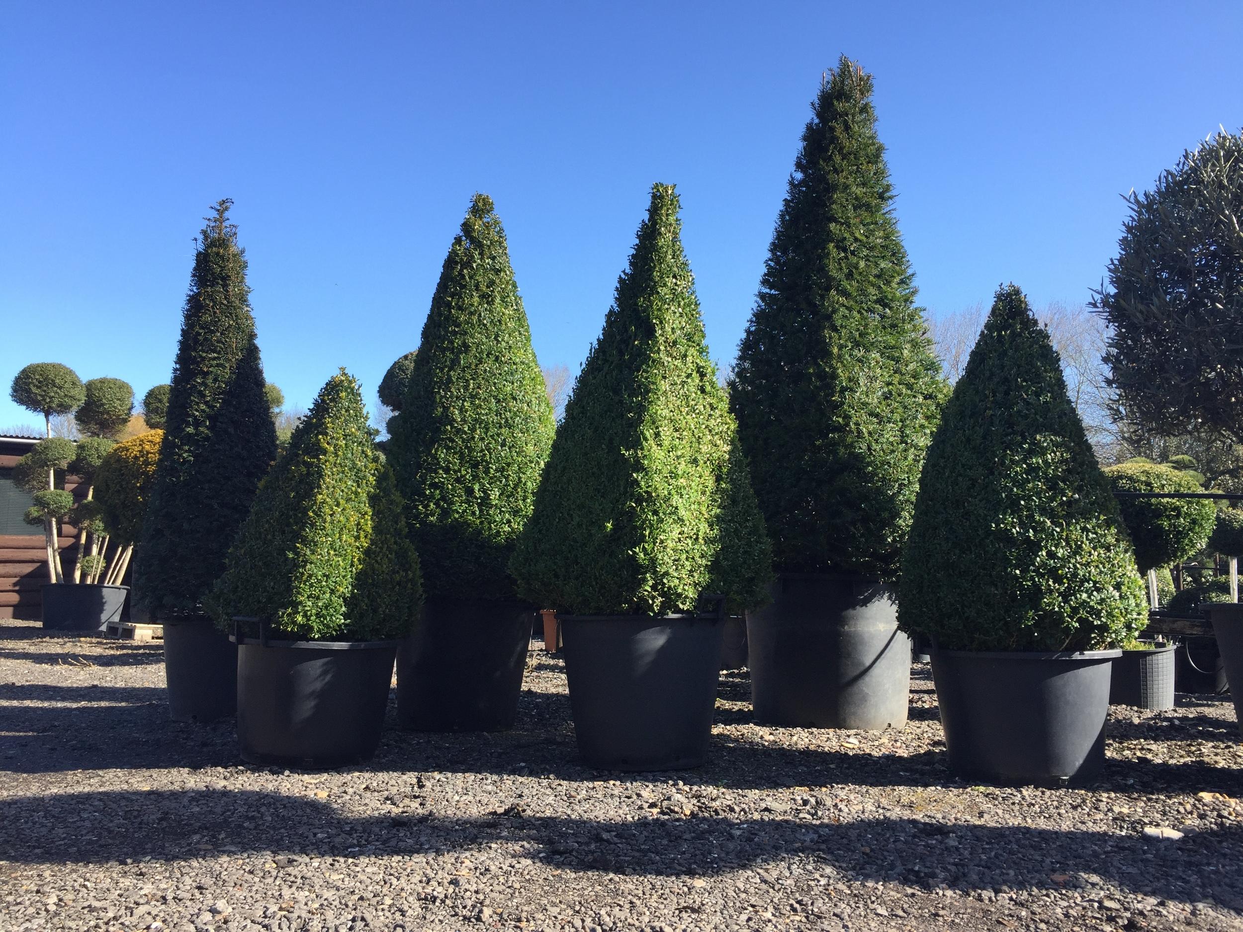 Box & Yew cones & pyramids
