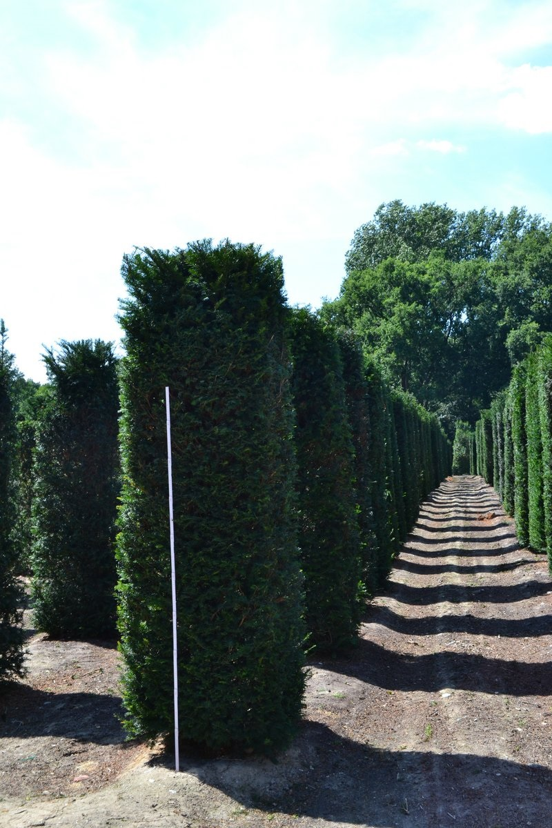 Yew hedging columns