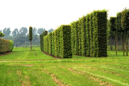 Hornbeam hedging columns