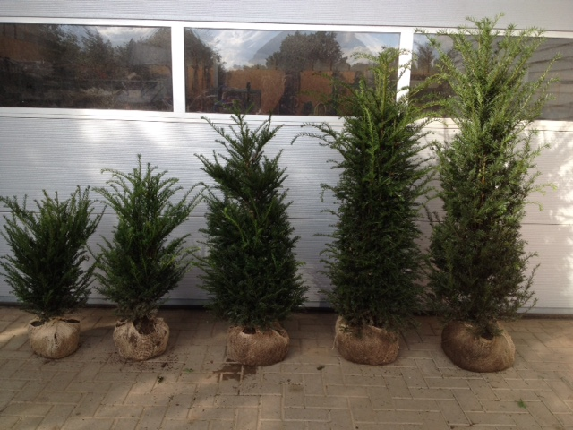 Yew hedging plant sizes