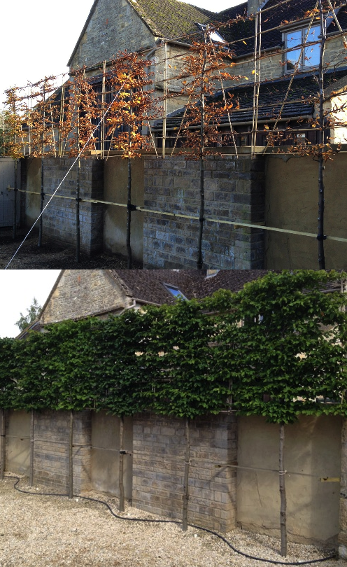 Hornbeam newly pleached before and after two seasons