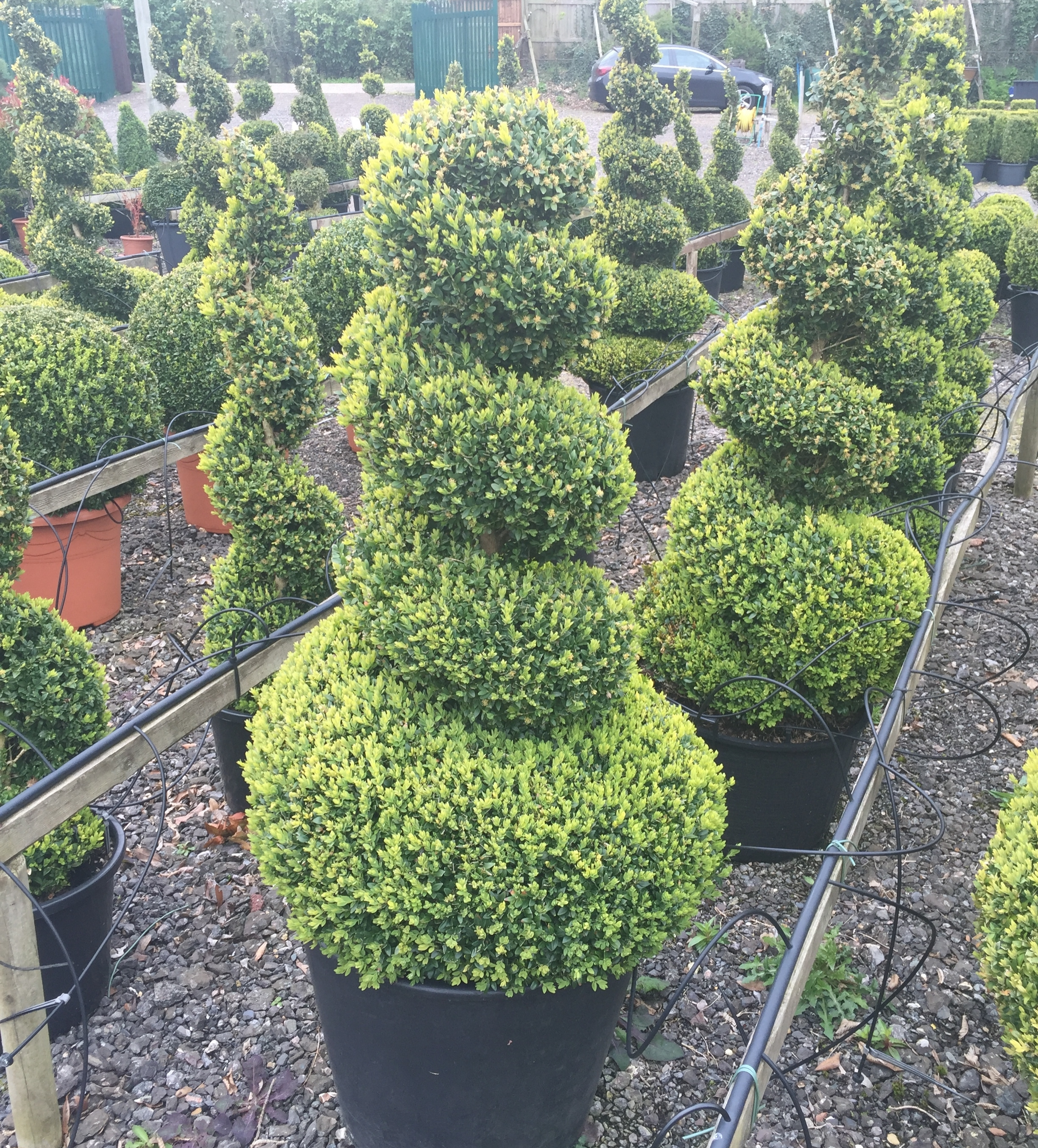 Topiary Care The Crown Topiary Blog Crown Topiary Topiary