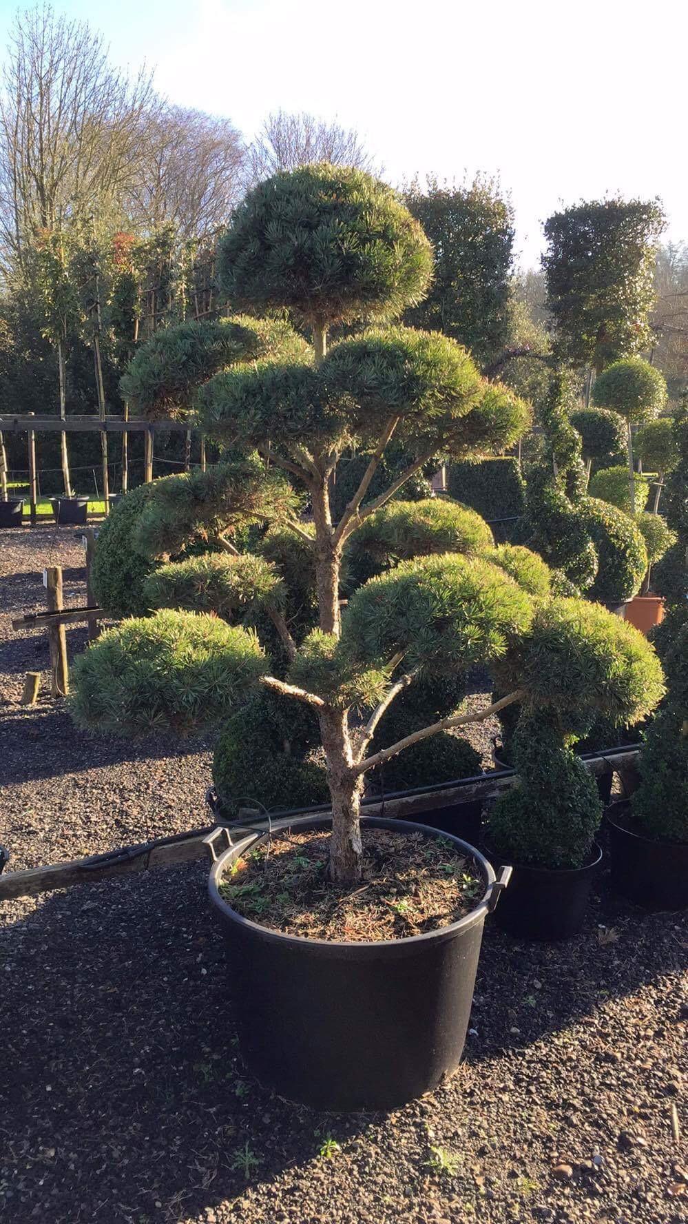 Pine Cloud