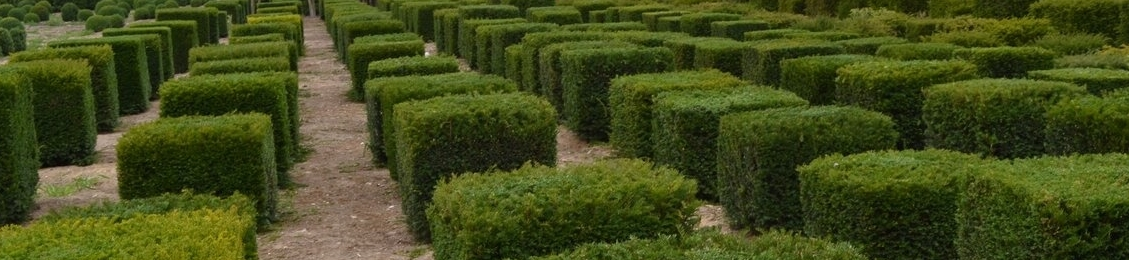 Taxus baccata cubes
